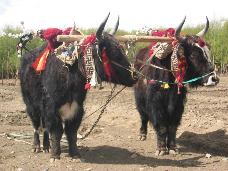 Yaks of tibet