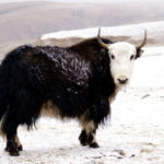 Yaks…the state animal of tibet – the land of snows