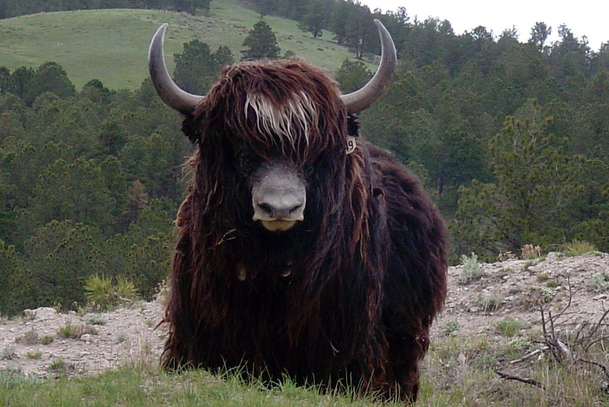 Yaks nature to produce